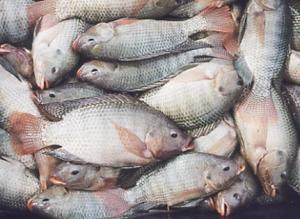 Quantos peixes cabem o reservatório