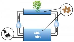 como funciona a aquaponia