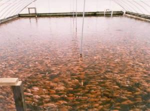 Irrigação Integrada com Criação de Peixes